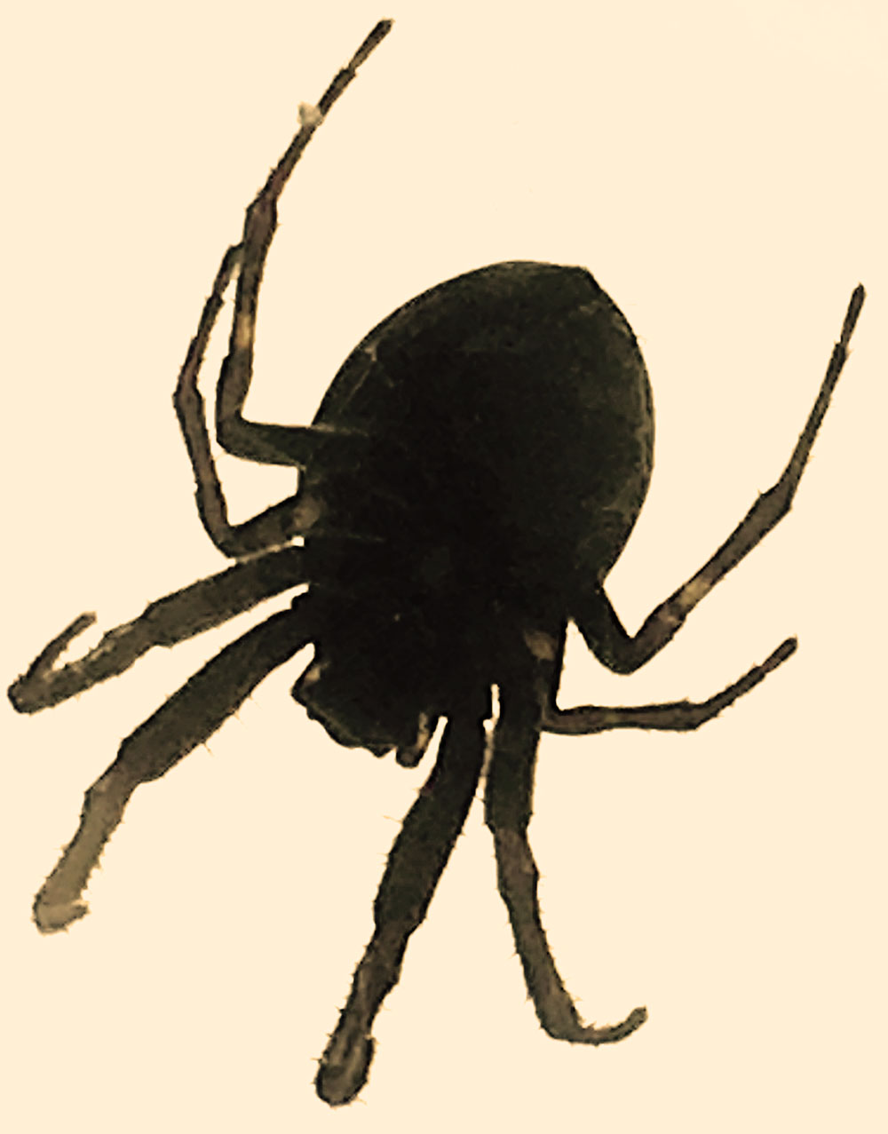 Silhouette photo of the scary-looking but harmless bridge spider.